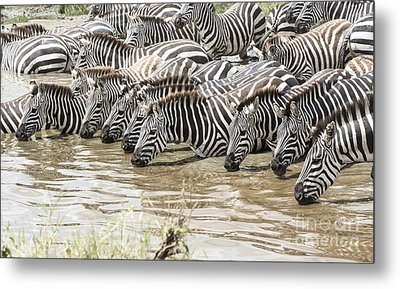 Thirsty Zebras Metal Print by Pravine Chester