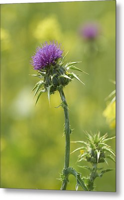 Thistle And Mustard Metal Print by Doug Herr