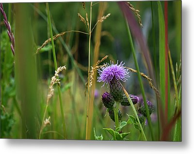 Thistle Blossom In Tall Grass Metal Print