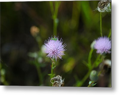 Thistles Morning Dew Metal Print by Christopher L Thomley