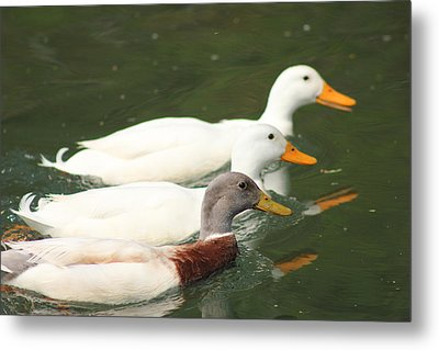 Three Amigos Metal Print by Julie Smith
