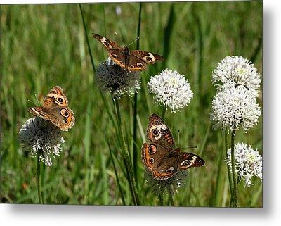 Three Buckeye Butterflies On Wildflowers Metal Print by Sheila Brown
