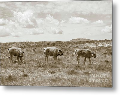 Metal Print featuring the photograph Three Buffalo Calves by Rebecca Margraf