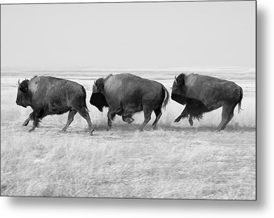 Three Buffalo In Black And White Metal Print