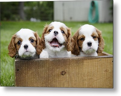 Three Cocker Spaniels Peeking Metal Print by Gillham Studios