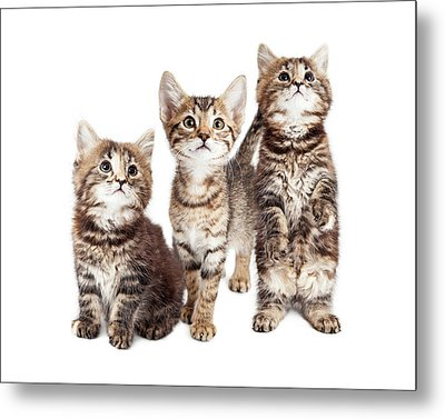 Three Curious Tabby Kittens Together On White Metal Print by Susan Schmitz