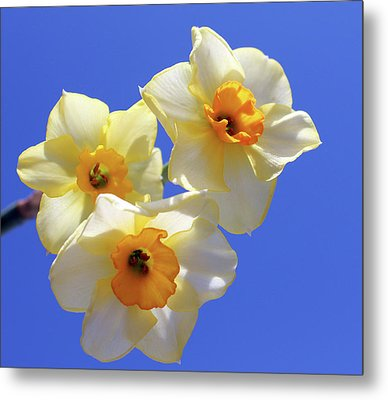 Metal Print featuring the photograph Three Daffodils by Judy Vincent