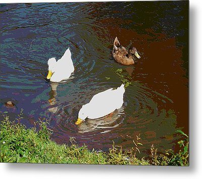 Three Ducks Swimming In Pond 2 Metal Print by Lanjee Chee