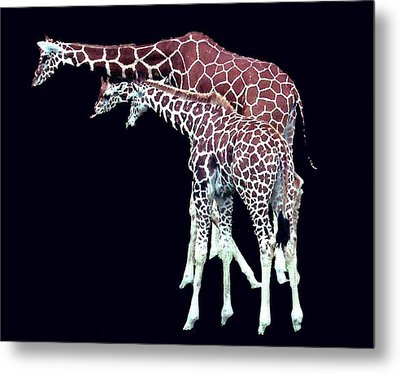 Metal Print featuring the photograph Three Giraffes by Merton Allen