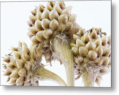 Three Globe Cornflower Seed Heads - Macro Metal Print by Sandra Foster