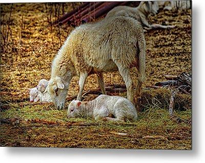 Three Lambs And A Sheep Metal Print by Bob Orsillo