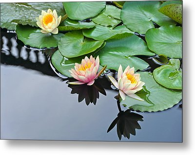 Three Lovely Hardy Waterlily Blossoms Metal Print by Byron Varvarigos