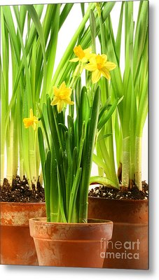 Three Pots Of Daffodils On White  Metal Print by Sandra Cunningham
