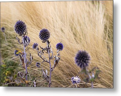 Three Purple Echinops Metal Print by Helga Novelli