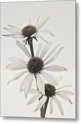 Three White Coneflowers Metal Print by Sandra Foster