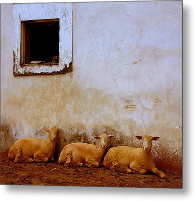 Three Wise Sheep Metal Print by Maggie McLaughlin