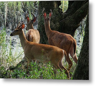 Three Young Bucks Metal Print