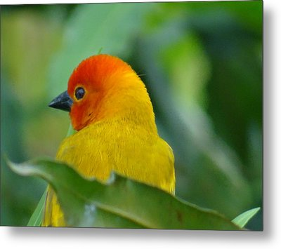 Through A Child's Eyes - Close Up Yellow And Orange Bird 2 Metal Print by Exploramum Exploramum