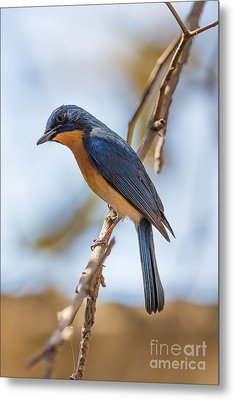 Tickells Blue Flycatcher, India Metal Print by B. G. Thomson