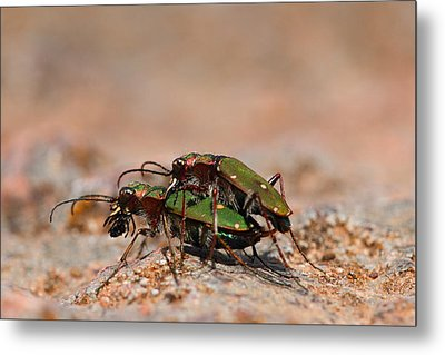 Metal Print featuring the photograph Tiger Beetle by Richard Patmore