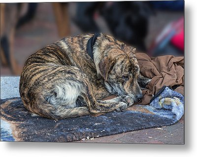 Tiger Dog And The Buskers Metal Print