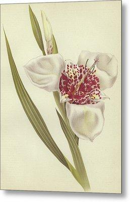 Tiger Flower   Tigridia Pavonia Alba Metal Print by English School