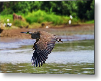 Metal Print featuring the photograph Tiger Heron by Arthur Dodd