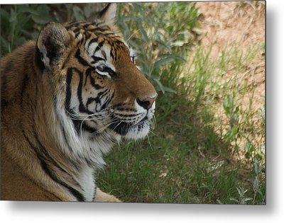 Tiger I Metal Print by Susan Heller