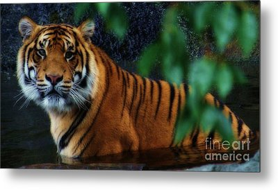 Tiger Land Metal Print by Kym Clarke