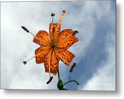 Tiger Lily In A Shower Metal Print
