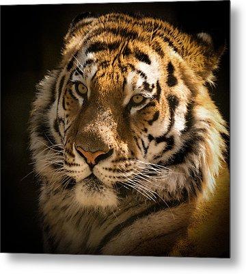 Tiger Portrait Metal Print by Chris Boulton