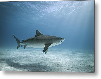 Tiger Shark In Water Metal Print