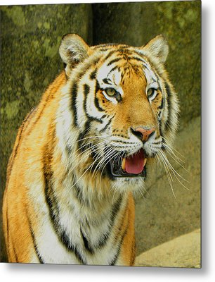Metal Print featuring the photograph Tiger Stare by Sandi OReilly