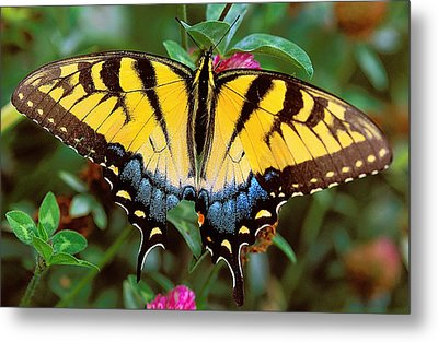 Tiger Swallowtail Metal Print by Alan Lenk