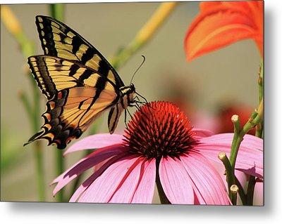Tiger Swallowtail Butterfly Coneflower Metal Print by John Burk