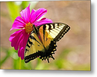Tiger Swallowtail Butterfly. Metal Print by David Freuthal