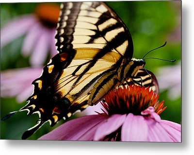 Metal Print featuring the photograph Tiger Swallowtail Butterfly On Coneflower by Jane Melgaard