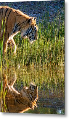 Tiger Tiger Burning Bright Metal Print by Melody Watson