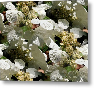 Metal Print featuring the photograph Tiled White Lace Cap Hydrangeas by Smilin Eyes  Treasures