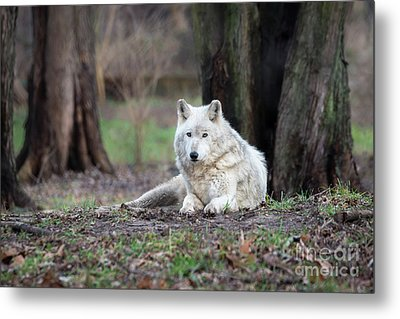 Timber Wolf Metal Print by Andrea Silies