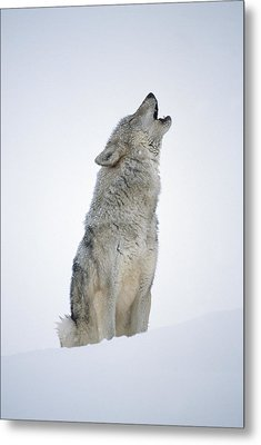 Timber Wolf Portrait Howling In Snow Metal Print