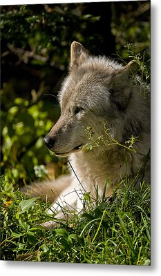 Metal Print featuring the photograph Timber Wolf Portrait by Michael Cummings