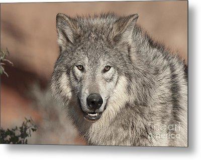 Timber Wolf Portrait Metal Print by Sandra Bronstein