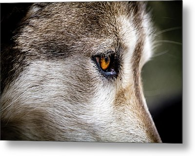 Metal Print featuring the photograph Timber Wolf Stare by Teri Virbickis