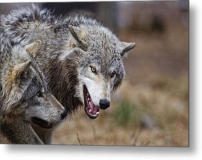 Metal Print featuring the photograph Timber Wolves by Michael Cummings