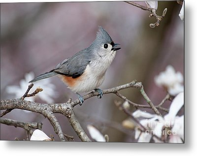 Metal Print featuring the photograph Titmouse Song - D010023 by Daniel Dempster
