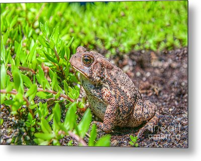 Toad In The Grass Metal Print