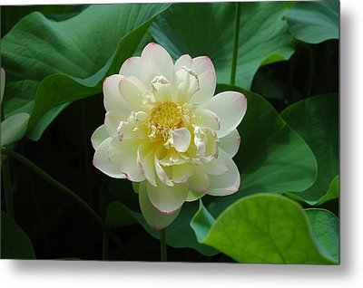 Tobin Series The Water Lillys Metal Print by Kicking Bear  Productions