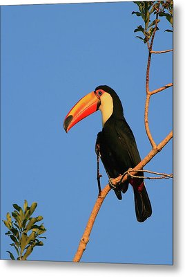 Toco Toucan Metal Print by Bruce J Robinson