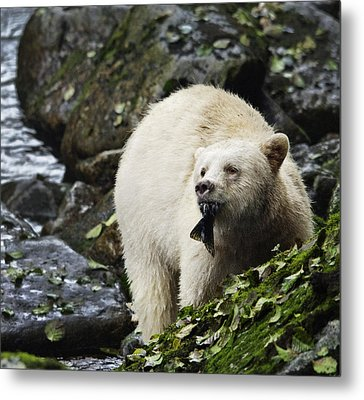 Too Much Fish For This Bear Metal Print by Melody Watson